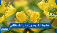 عشبة القديسين جابر القحطاني فوائدها وطريقة استخدامها